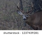 White Tailed Deer Buck With...