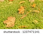 background of autumn maple leaf ... | Shutterstock . vector #1237471141