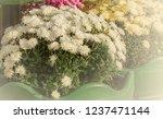autumn chrysanthemums. belarus. | Shutterstock . vector #1237471144
