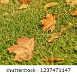 background of autumn maple leaf ... | Shutterstock . vector #1237471147