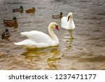 white swans swimming on the... | Shutterstock . vector #1237471177