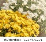 autumn chrysanthemums. belarus. | Shutterstock . vector #1237471201