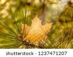 background autumn maple leaf on ... | Shutterstock . vector #1237471207