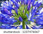 Agapanthus Flower Or Lily Of...