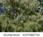 mexican weeping pine  pinus... | Shutterstock . vector #1237480714