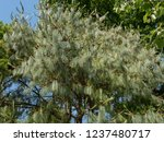 mexican weeping pine  pinus... | Shutterstock . vector #1237480717