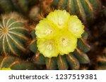 ball cactus  notocactus...   Shutterstock . vector #1237519381