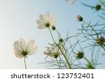 Aster In The Blue Sky