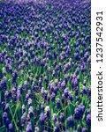 beautiful blue starch grape...   Shutterstock . vector #1237542931