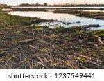 broken reed stems washed ashore ... | Shutterstock . vector #1237549441