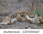 lion cub being nuzzled by... | Shutterstock . vector #1237654267