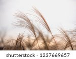 reed blowing in the wind   Shutterstock . vector #1237669657