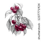 Hand Drawn Sweet Cherry Branch...