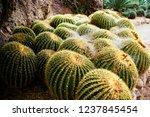 barrel cactus sonora desert and ... | Shutterstock . vector #1237845454