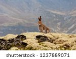 Stock photo tundra hare also known as mountain hare in natural habitat lepus timidus 1237889071