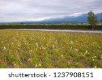 flower farm featuring vast...   Shutterstock . vector #1237908151