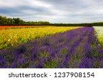 flower farm featuring vast...   Shutterstock . vector #1237908154