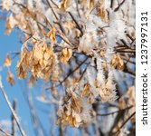Frost On Manitoba Maple Seeds...