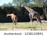 outdoor view of giraffes  also... | Shutterstock . vector #1238110891