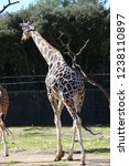 outdoor view of giraffes  also... | Shutterstock . vector #1238110897