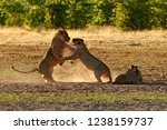 lions fight in the sand. lion... | Shutterstock . vector #1238159737