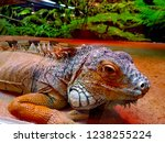 the green  iguana  is a large... | Shutterstock . vector #1238255224