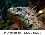 the green  iguana  is a large... | Shutterstock . vector #1238255227