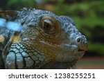 the green  iguana  is a large... | Shutterstock . vector #1238255251