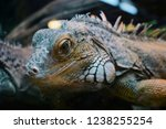 the green  iguana  is a large... | Shutterstock . vector #1238255254