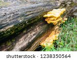yellow colored culfur polypore... | Shutterstock . vector #1238350564