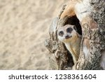 Meerkat Coming Out Of His Hole...