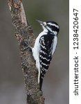 female downy woodpecker ... | Shutterstock . vector #1238420647