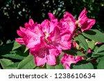 Rhododendron Grandiflorum ...