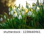 snowdrop at springtime   Shutterstock . vector #1238660461
