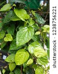 piper betle is a herbal tree... | Shutterstock . vector #1238756221