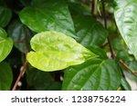 piper betle is a herbal tree... | Shutterstock . vector #1238756224