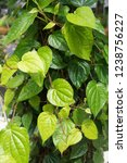 piper betle is a herbal tree... | Shutterstock . vector #1238756227