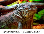 the green  iguana  is a large... | Shutterstock . vector #1238925154