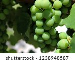 ripening green grapes at the... | Shutterstock . vector #1238948587