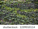 ivy wall background | Shutterstock . vector #1239010114
