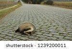 dead badger on cobble stone...   Shutterstock . vector #1239200011