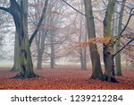 beech trees in the fog in de... | Shutterstock . vector #1239212284