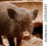 a little piglet with a muddy... | Shutterstock . vector #1239232957