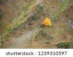 lonely autumn tree on the slope.... | Shutterstock . vector #1239310597