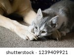 Stock photo kitten playing with his dog friend 1239409921