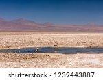 laguna chaxa  atacama desert ... | Shutterstock . vector #1239443887