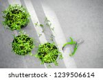 potted cilantro herbs and... | Shutterstock . vector #1239506614