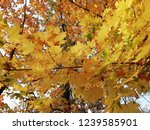 yellow maple leaves and blue...   Shutterstock . vector #1239585901