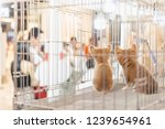 puppy in a cage for selling in... | Shutterstock . vector #1239654961