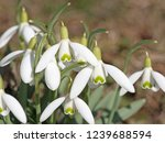 blooming snowdrops  galanthus ... | Shutterstock . vector #1239688594